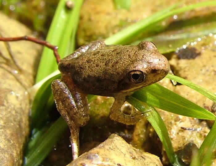 Baby american toad